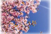 Prunkande Prunus